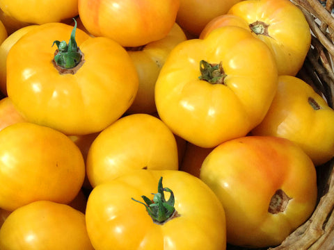 Livingston's Golden Queen Tomato