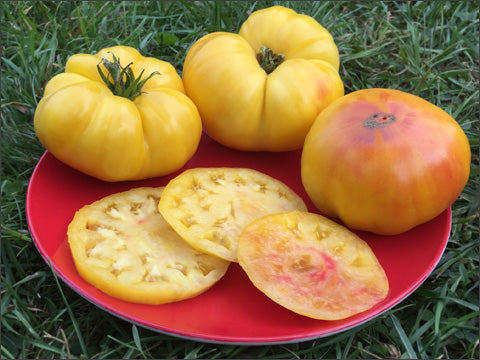 Isbell's Golden Colossal Tomato