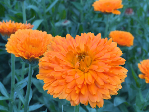 Orange Zinger Calendula Flowers