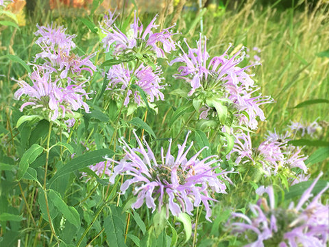 Bee Balm Native Plant