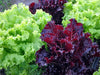 Jazzy Leaf Lettuce Mix
