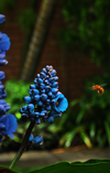Health, SOVEREIGN-HEALTH, Blue-Banded-Bee, Blue-Ginger