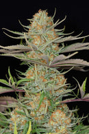 Dinafem Sweet Deep Grapefruit