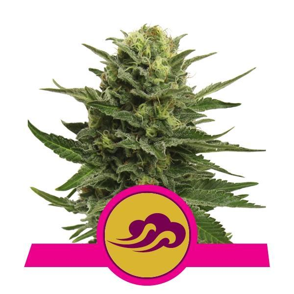 Royal Queen Seeds Blue Mystic