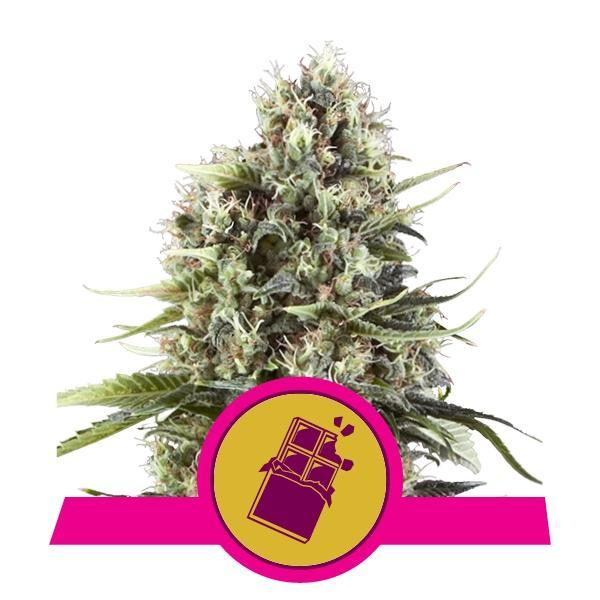 Royal Queen Seeds Chocolate Haze