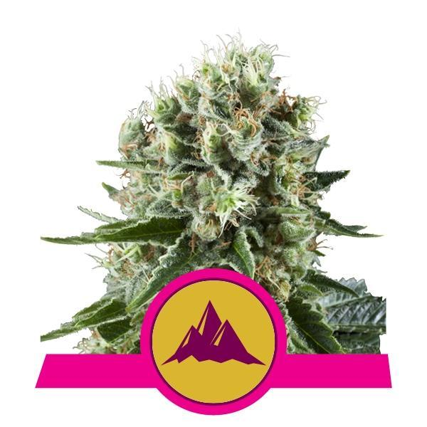 Royal Queen Seeds Critical Kush
