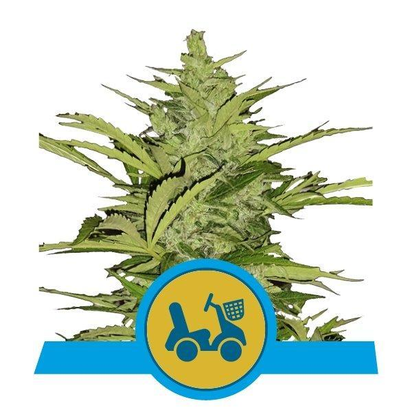 Royal Queen Seeds Fast Eddy Automatic CBD