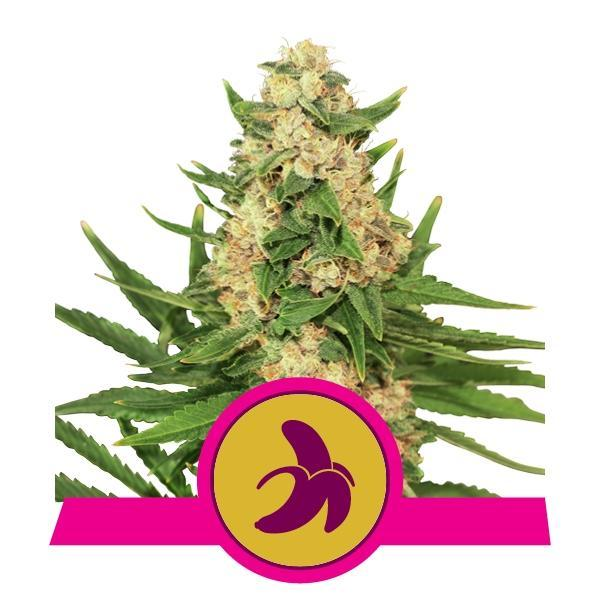 Royal Queen Seeds Fat Banana