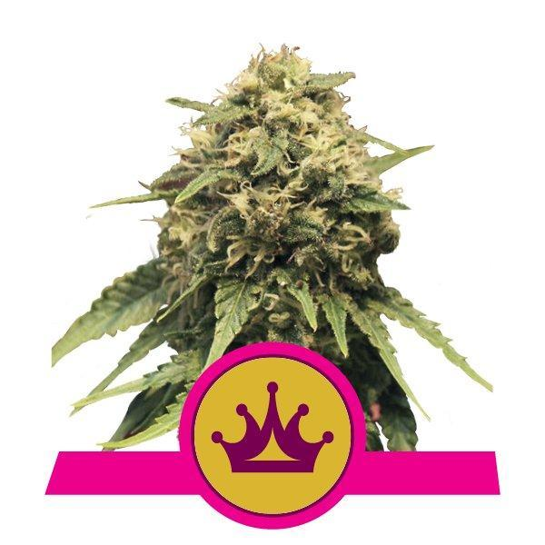 Royal Queen Seeds Special Queen