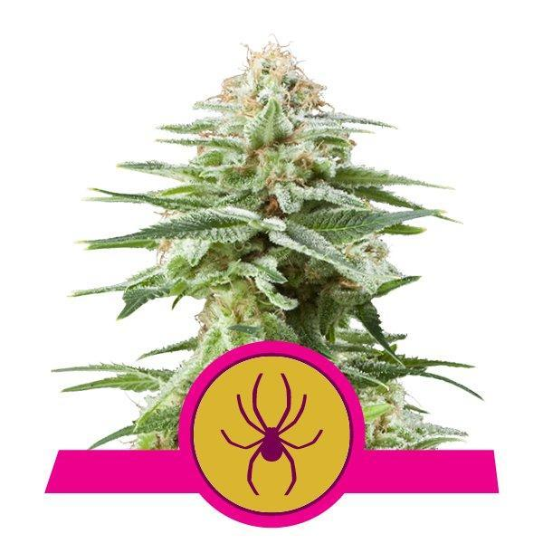 Royal Queen Seeds White Widow
