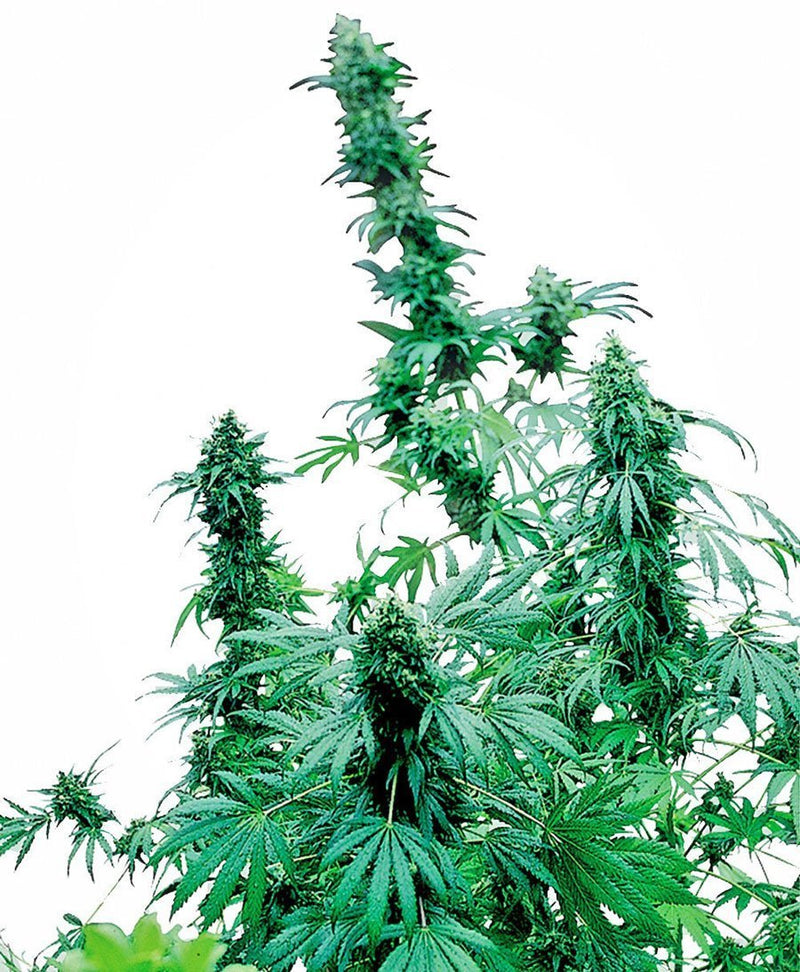 Sensi Seeds Early Skunk Femminizzati