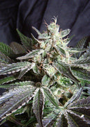 Sweet Seeds Black Jack F1 Fast Version®