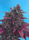 Sweet Seeds Dark Devil Auto®