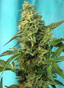 Sweet Seeds Green Poison F1 Fast Version®