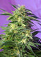 Sweet Seeds Killer Kush Auto®