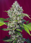 Sweet Seeds San Fernando Lemon Kush®