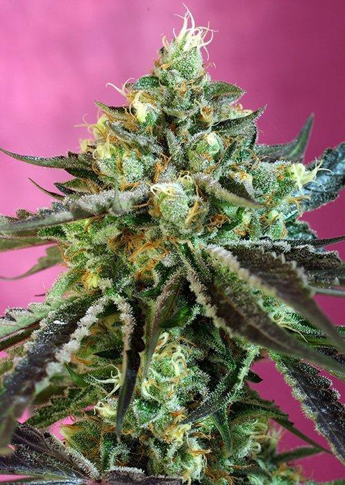 Sweet Seeds Sweet Nurse Auto CBD®