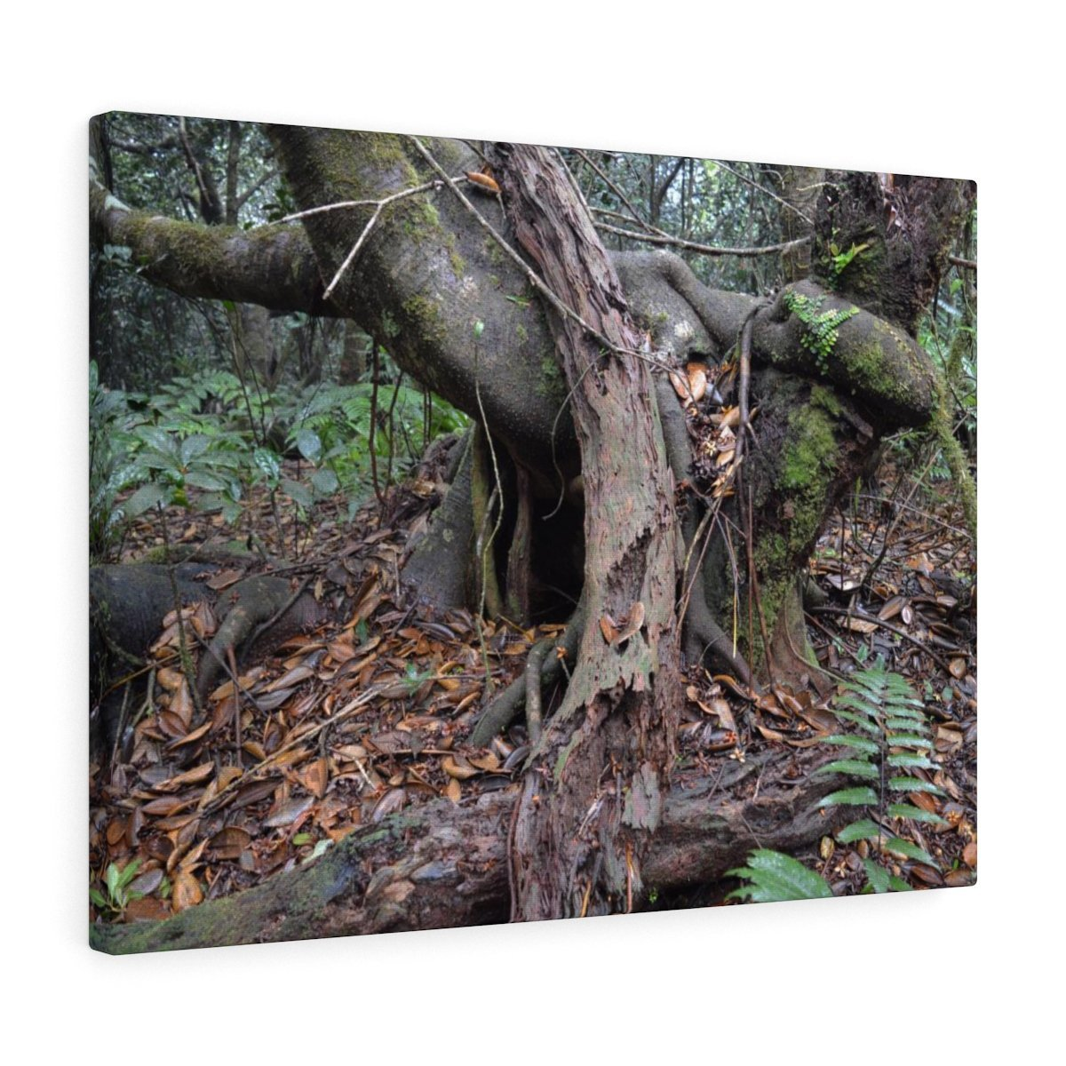 Old Pal in the 14km Tradewinds Trail explorations - El Yunque rainforest - Canvas Gallery Wraps - SingleClick.store