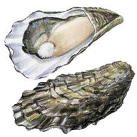 Pacific Oysters, Crassostrea gigas