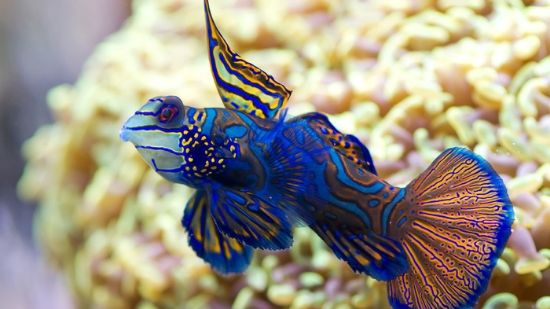 Blue/green Mandarin Dragonet