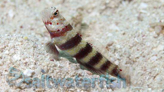 Bumblebee Goby (saltwater)