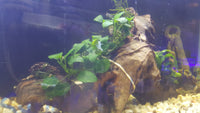 Driftwood with Anubias and Java Fern