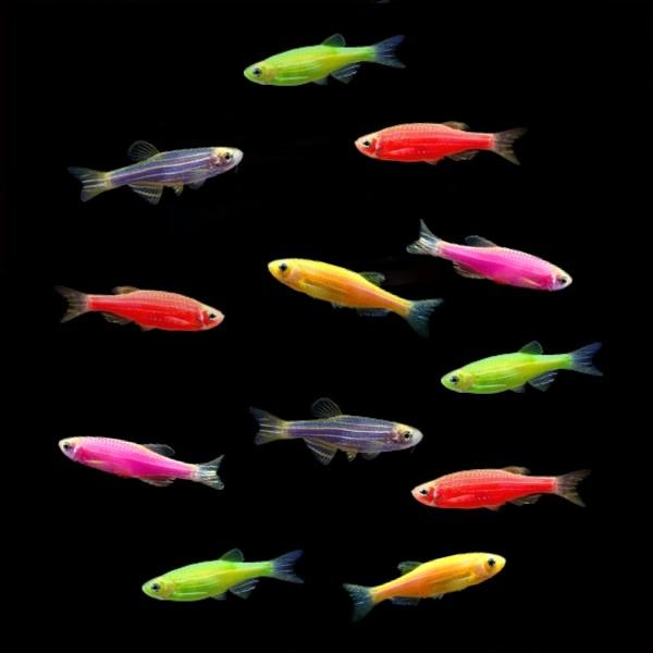 GloFish® Danios (assorted colors)