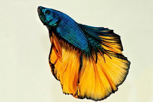 Mustard Gas Halfmoon Betta