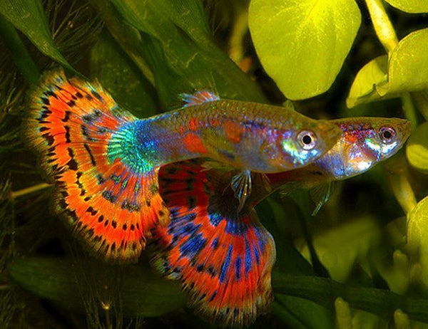 Blue Variegated  Male Guppy