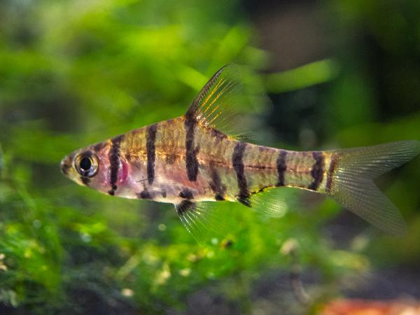 Eight Striped Barb