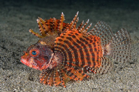 Hawaiian Dwarf Turkey Lionfish