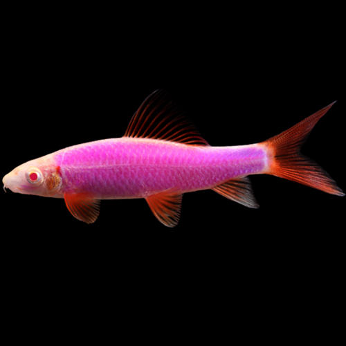 Glofish® Galactic Purple® Shark