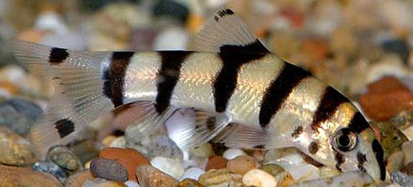 Golden Zebra Loach
