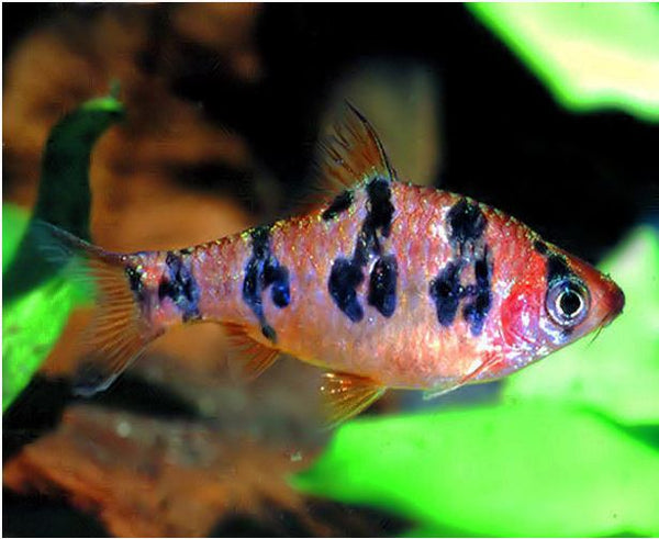Round Banded Barb