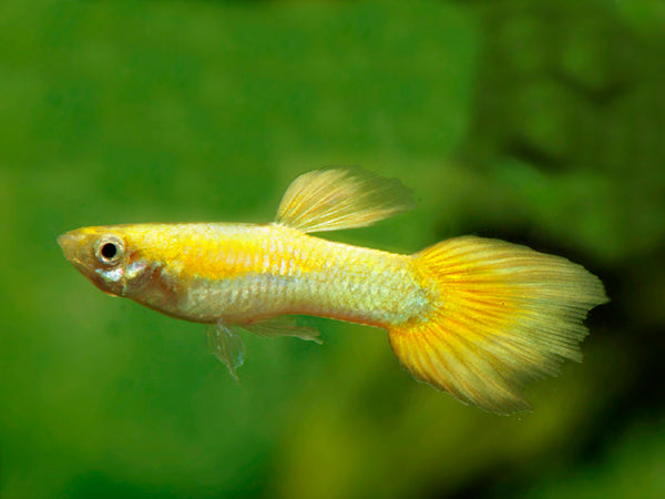 Gold Platinum Guppy