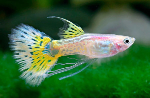 Ribbon Guppy, male