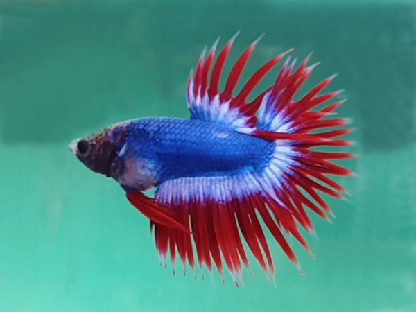 American flag Crowntail Male Betta