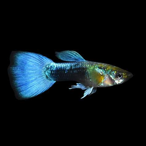 Neon Blue Guppy