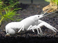 Crayfish (Crawfish) - Multiple colors available