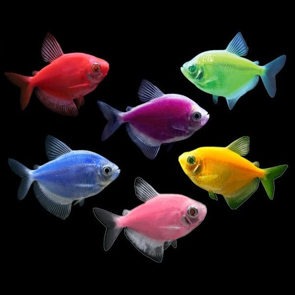 Glofish® Tetra (Assorted colors)