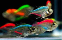 Painted Glass Fish (Tetra)