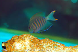 Orange Stripe Bristletooth Tang