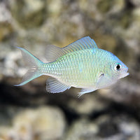 Blue/Green Chromis