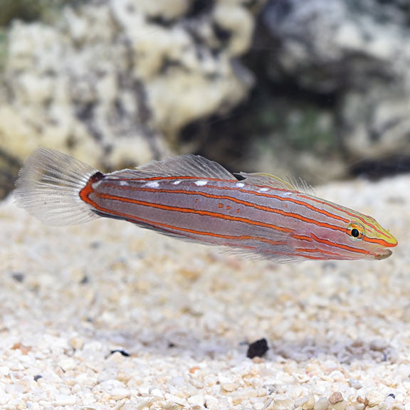 Court Jester (Rainford's) Goby