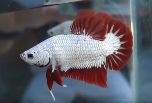 Red Dragon Roundtail Betta Male