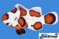 (new) Orange Storm Clownfish - Sea & Reef Aquaculture