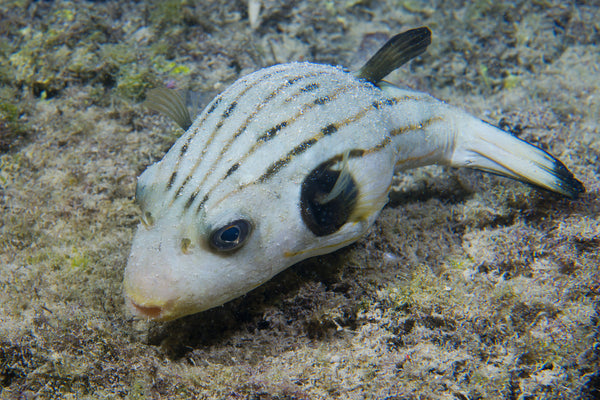 Striped Dog Face Puffer