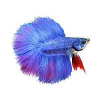 Twintail Halfmoon Betta Male