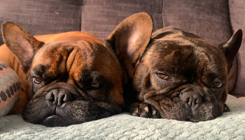 two French bulldogs laying down together on a sofa