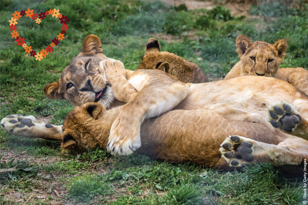 Lioness playing with her cubs.